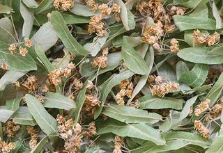 Kışın muhakkak tüketilmesi gereken bitki çayları