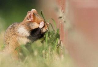 Doğal halleriyle aşırı sevimli Hamster fotoğrafları