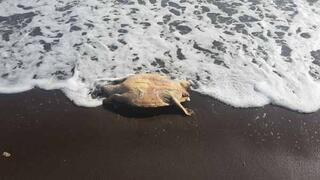 Datça sahilinde bulundu 13 santimetre boyunda...