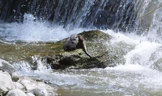 Abanada su samuru fotoğraflandı