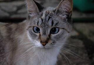 Kedilerde şaşılık neden olur