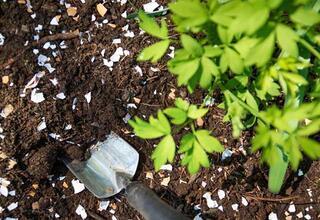 Evde yaban mersini nasıl yetiştirilir