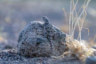 Ağrı Dağının minik sürüngeni: Topbaş keleri