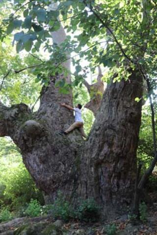1100 yıllık ağaçlar keşfedildi
