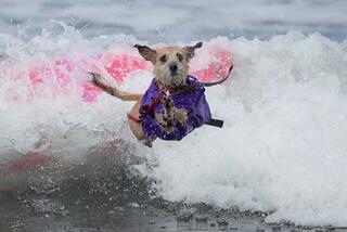 ABDde köpeklere özel sörf yarışı