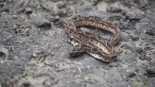 Çift başlı yılan ortaya çıktı