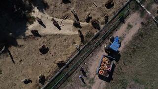 Kış uykusuna hazırlanan ayılara, özel beslenme programı