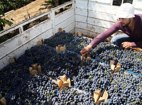 Erzincan bağlarında 'Cimin üzümü' bereketi