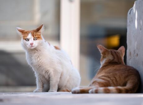 Kedi Cinsleri ve İsimleri Nelerdir? Cins Kedi Türleri ve Özellikleri
