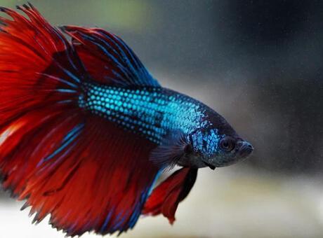 Beta Balığı (Kavgacı Siyam Balığı) Nedir? Nerelerde Yaşar Ve Kısaca Özellikleri Nelerdir?