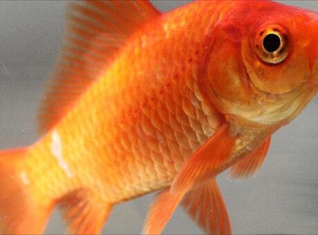 Japon Balığı Nedir? Nerelerde Yaşar Ve Kısaca Özellikleri Nelerdir?