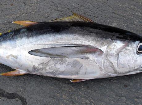 Ton Balığı (Orkinos) Nedir? Nerelerde Yaşar Ve Kısaca Özellikleri Nelerdir?