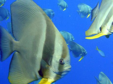Melek Balığı Nedir? Nerelerde Yaşar Ve Kısaca Özellikleri Nelerdir?