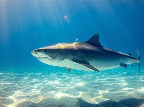 Köpek Balığı Nedir? Nerelerde Yaşar Ve Kısaca Özellikleri Nelerdir?