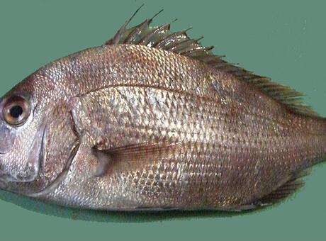 Mercan Balığı Nedir? Nerelerde Yaşar Ve Kısaca Özellikleri Nelerdir?