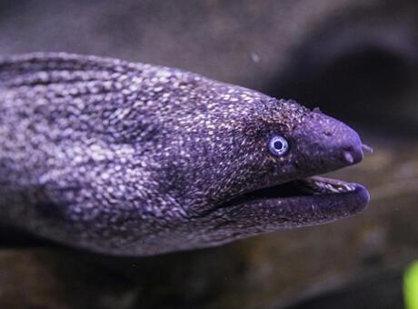 Yılan Balığı Nedir? Nerelerde Yaşar Ve Kısaca Özellikleri Nelerdir?