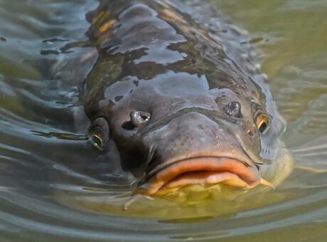 Sazan Balığı Nedir? Nerelerde Yaşar Ve Kısaca Özellikleri Nelerdir?