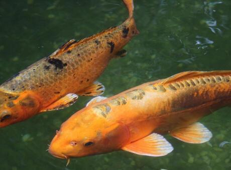 Koi Balığı Nedir? Nerelerde Yaşar Ve Kısaca Özellikleri Nelerdir?