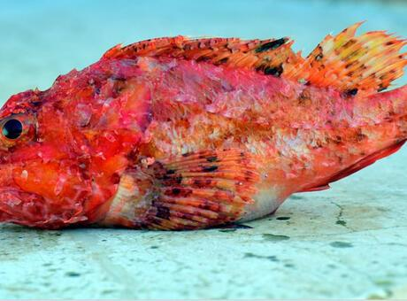 Kırlangıç Balığı (Benekli Kırlangıç) Nedir? Nerelerde Yaşar Ve Kısaca Özellikleri Nelerdir?