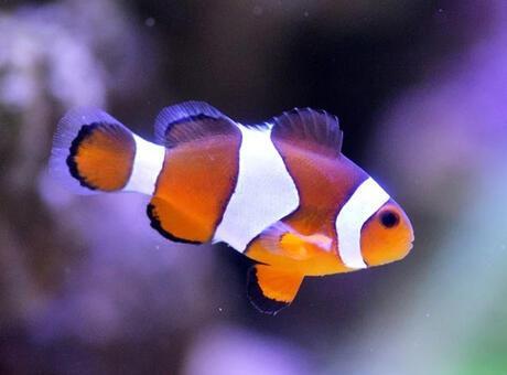 Palyaço Balığı Nedir? Nerelerde Yaşar Ve Kısaca Özellikleri Nelerdir?