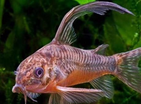Çöpçü Balığı Nedir? Nerelerde Yaşar Ve Kısaca Özellikleri Nelerdir?