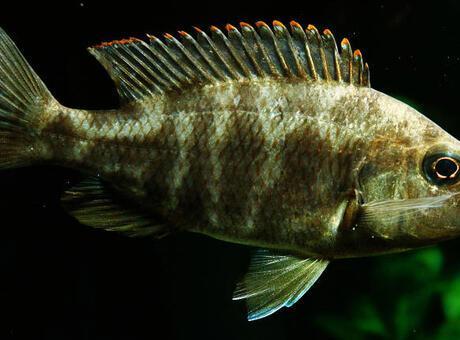 Kaya Balığı Nedir? Nerelerde Yaşar Ve Kısaca Özellikleri Nelerdir?
