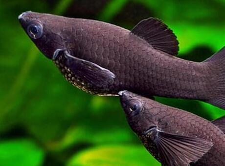 Moli Balığı Nedir? Nerelerde Yaşar Ve Kısaca Özellikleri Nelerdir?