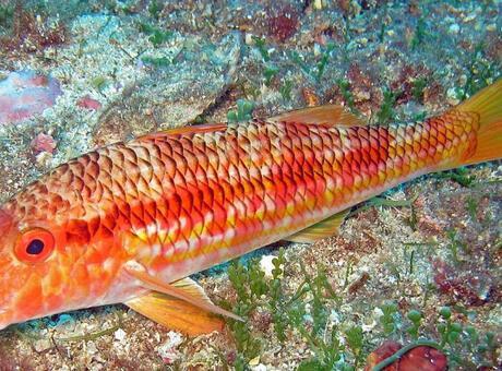 Tekir Balığı Nedir? Nerelerde Yaşar Ve Kısaca Özellikleri Nelerdir?
