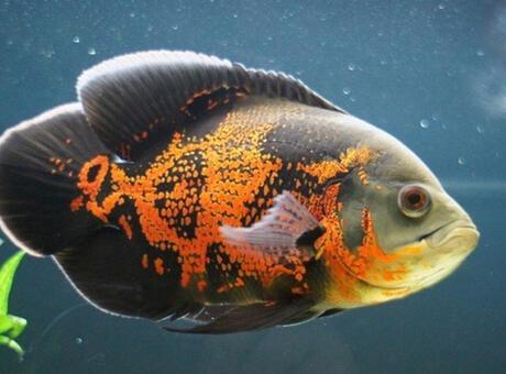 Astronot Balığı (Oscar) Nedir? Nerelerde Yaşar Ve Kısaca Özellikleri Nelerdir?