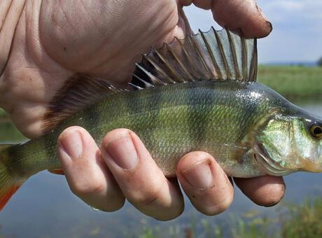 Levrek Balığı Nedir? Nerelerde Yaşar Ve Kısaca Özellikleri Nelerdir?
