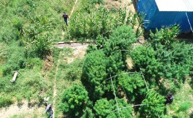 Kenevir bahçesini, pitbull ve kangal köpekleriyle korumaya almış