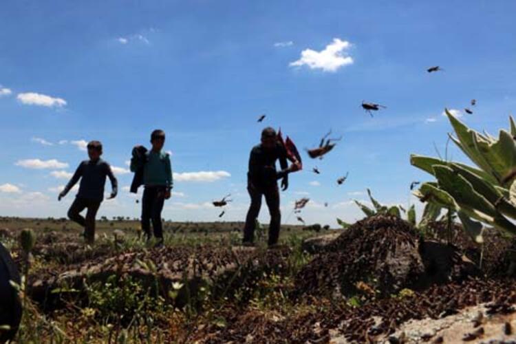 Şanlıurfanın Siverek ilçesi kırsalında 4 mahalle, çekirgelerin istilasına uğradı. Vatandaşlar,çekirgelerin ekili arazilere gitmeden önce durdurulması için yardım bekliyor.HABERİN VİDEOSUNU İZLEMEK İÇİN TIKLAYIN