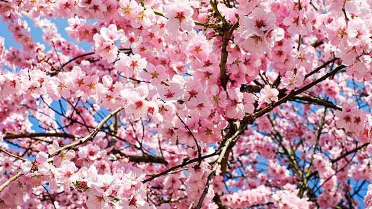 Sakura (Kiraz ağacı)