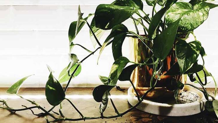 Philodendron hartleaf