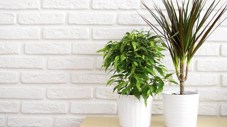 Dracaena ve kaynana dili bitkileri