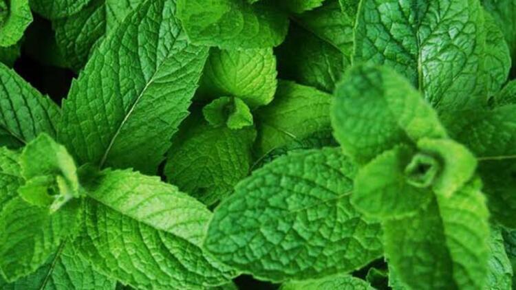 Nane yaprakları ve hindistancevizi yağıMalzemeler: