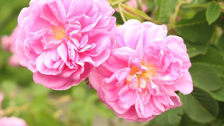 Isparta gülü (Damaks rose)