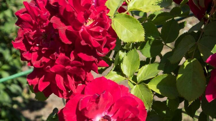 Kırmızı Frenk gülü (Gallic Rose)