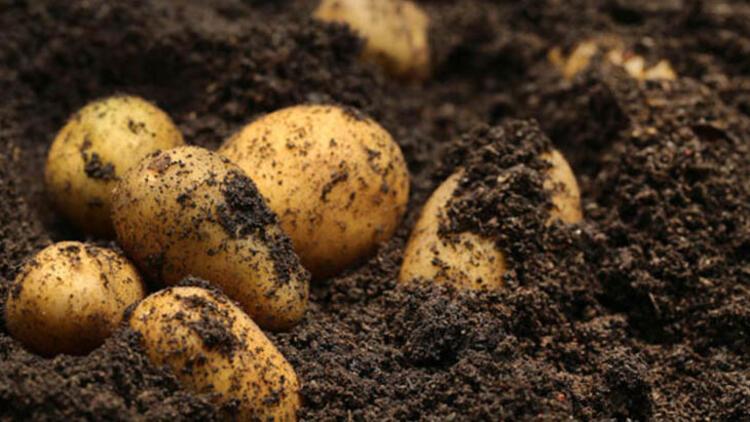 Patatesleri böcekten uzaklaştırın