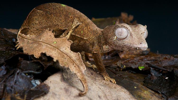 Yaprak Kuyruklu Kertenkele (Gecko)