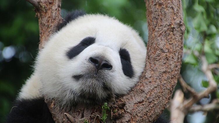 UYKUCU PANDA