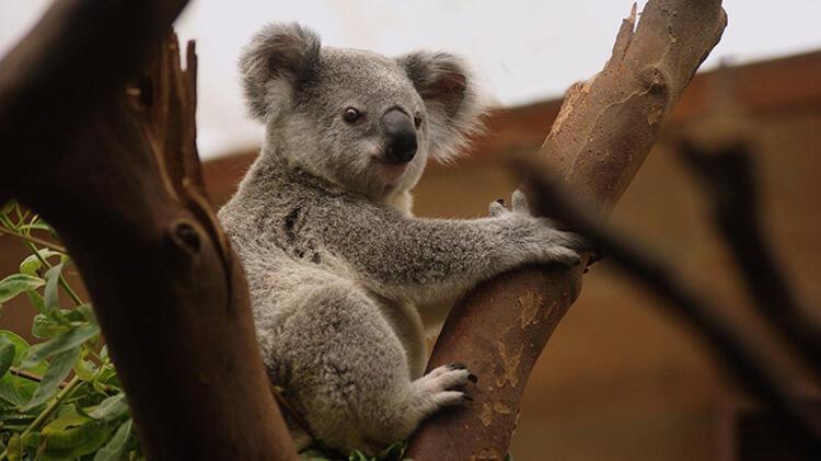 7. Koala:
