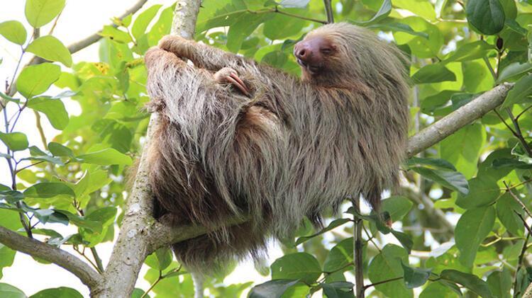 2. Tembel hayvan (sloth):