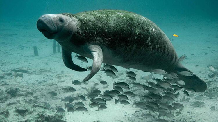 8. Deniz ineği: