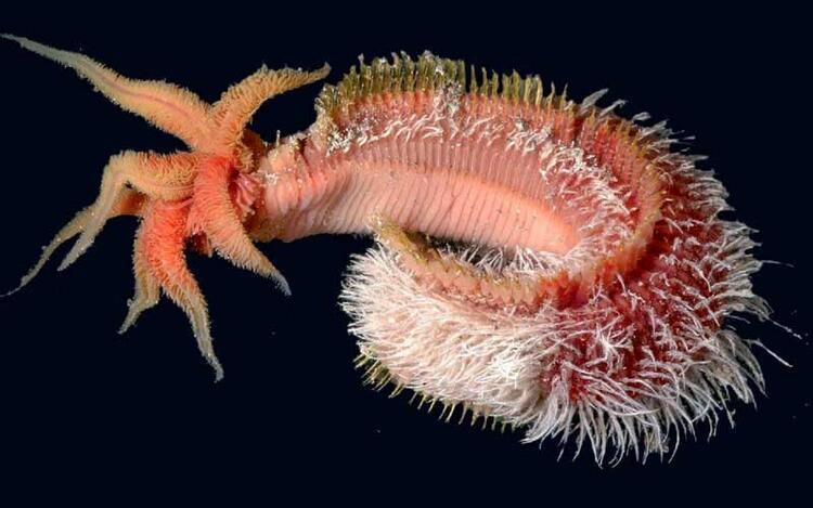 Pomei-Worm