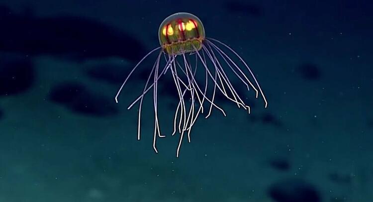 Derin deniz denizanası