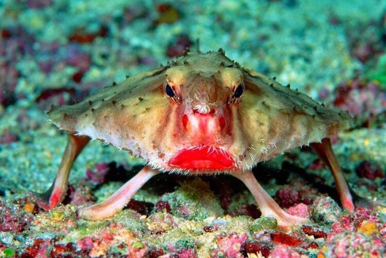 Kırmızı Dudaklı Yarasa Balığı