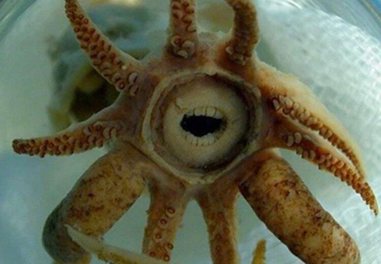 Kocaman dişleri olan derin deniz kalamarı