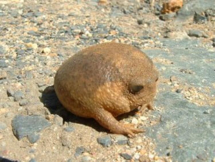 Cape Yağmur Kurbağası
