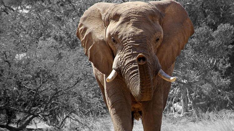 Uzun burunlu şişko: Filler
